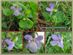 Viola_sacchalinensis_WebRC.JPG