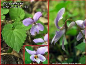 Viola_selkirkiiRC.jpg