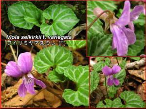 Viola_selkirkii_f_variegataRC.jpg
