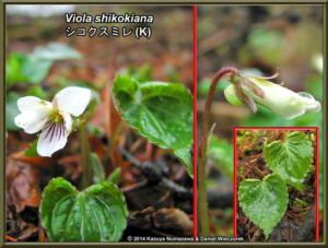 Viola_shikokianaRC.jpg
