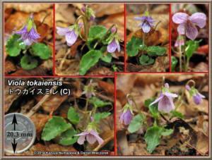 Viola_tokaiensisRC.jpg