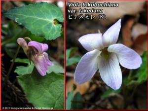 Viola_tokubuchiana_var_takedanaRC.jpg