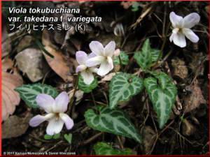Viola_tokubuchiana_var_takedana_f_variegataRC.jpg