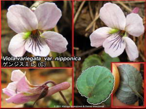 Viola_variegata_var_nipponicaRC.jpg