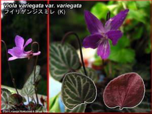 Viola_variegata_var_variegataRC.jpg