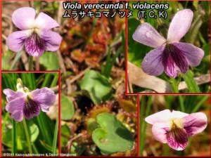 Viola_verecunda_f_violacensRC.jpg