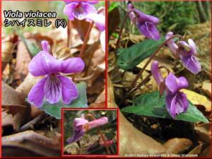 Viola_violaceaRC.jpg