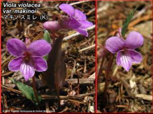 Viola_violacea_var_makinoiRC.jpg