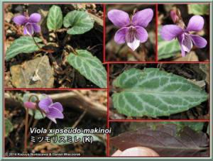 Viola_x_pseudo_makinoiRC.jpg
