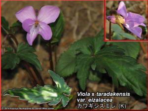 Viola_x_taradakensis_var_eizalaceaRC.jpg