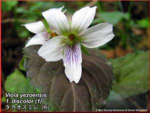 Viola_yezoensis_f_discolor_1RC.jpg