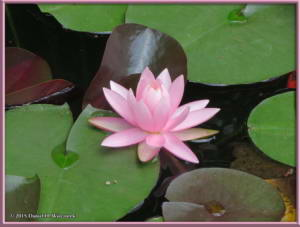Jun28_68_JindaiBotGar_WaterLilyRC